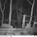 Wildcat/hybrid